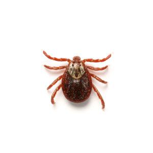 Fleas, Ticks & Mites